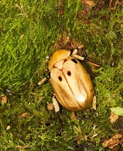 Pelidnota cetonid beetle