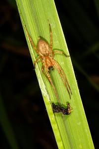 Ambush spider with last night's prey