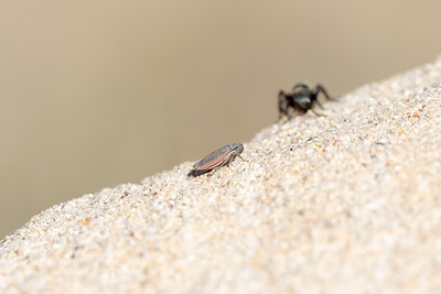Black & Gold Velvet Ant Wasp (Mutillidae) Searching for Prey on Sandstone on the Eastern Plains of Colorado