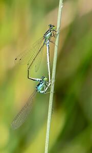 Plains Forktails (Ischnura damula)
