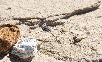 Daddy Long Legs Harvestmen Spider (Trachyrhinus favosus) on Sandstone on the Eastern Plains of Colorado