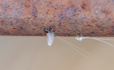 Macro of a Recently Hatched Trico Mayfly (Tricorythodes) with the Exoskeleton in the Background