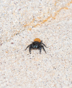 Red & Black Brightly Colored Male Jumping Spider (Phidipus johnsoni) on a Sandstone Wall on the Eastern Plains of Colorado