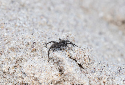 Grass Spider (Agelenopsis) on a Verical Sandstone Wall on the Eastern Plains of Colorado