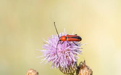 Longhorn Beetle (Batyle suturalis)