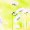 Honeybee Seeking Pollen from Flowers in Garden
