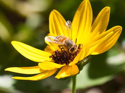 bee on dune sunflower