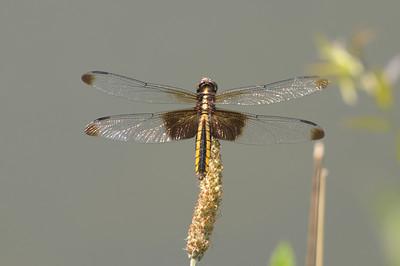 2012 Dragonflies