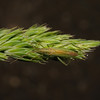 Stenodema laevigata, May