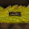 Andrena minitula?, April