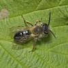 Andrena sp,  May