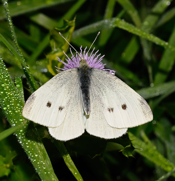 Small White, September