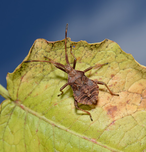 Coreus marginatus nymph, August