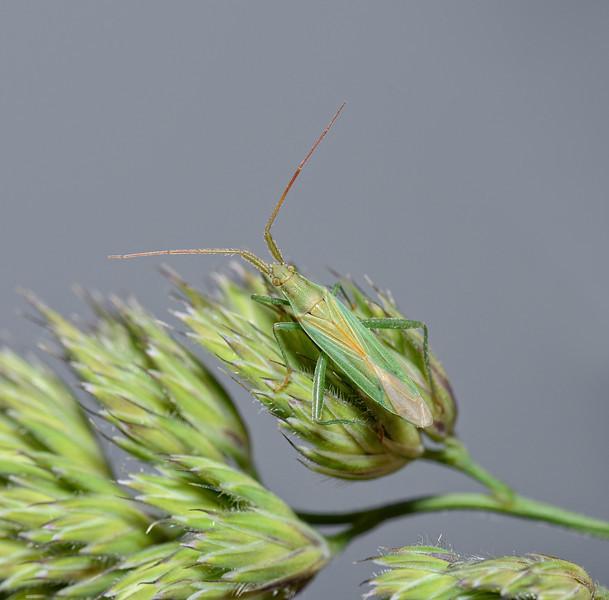 Stenodema laevigata, June