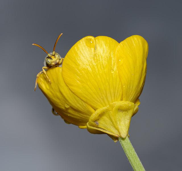 Nomada lathburiana male, April