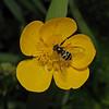 Dasysyrphus venustus, May