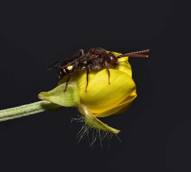 Nomada flava female, May