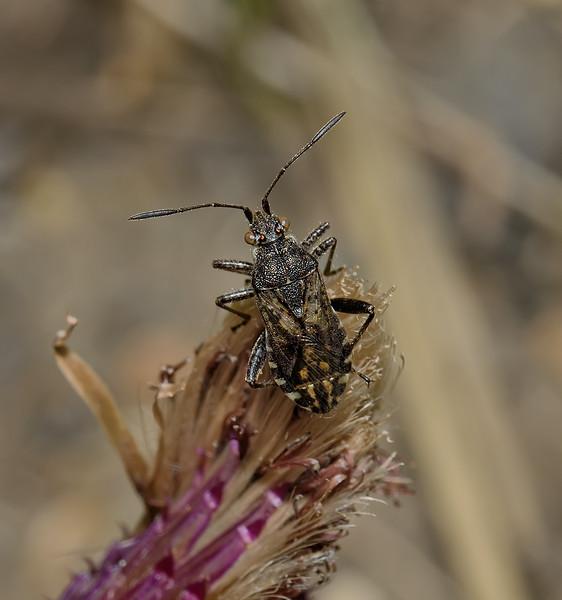 Stictopleurus punctatonervosus, August