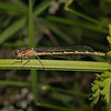 Immature Female Azure Damselfly - Coenagrion puella, May
