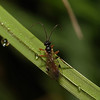 Braconid Wasp, April