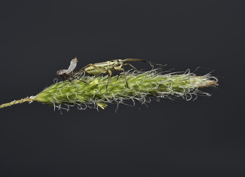 Leptopterna dolabrata nymph, June