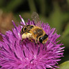 Andrena flavipes female, June