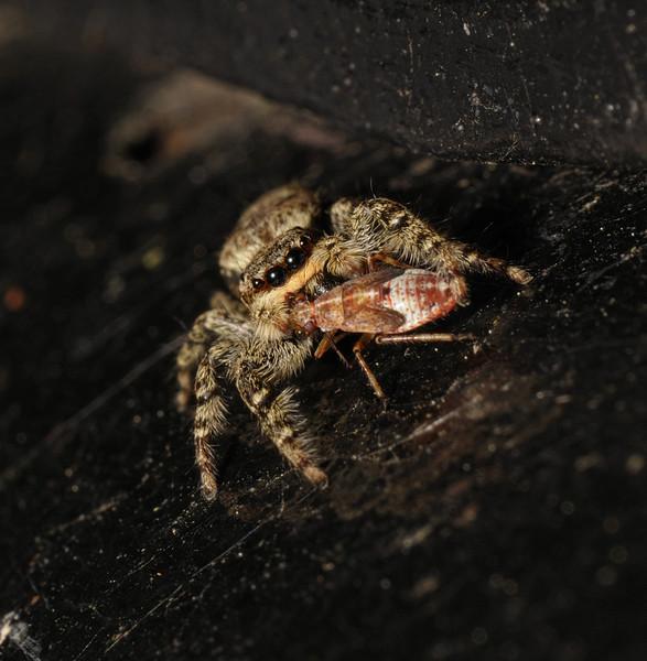 Marpissa muscosa female with Deraeocoris flavilinea nymph, June