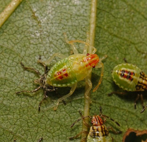 Parent Bug - Elasmucha grisea nymph, August