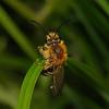 Andrena flavipes male, April