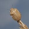 Tortoise Shieldbug - Eurygaster testudinaria, August