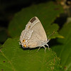 Purple Hairstreak, August