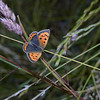 Small Copper, June