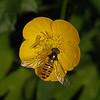 Episyrphus balteatus female, May