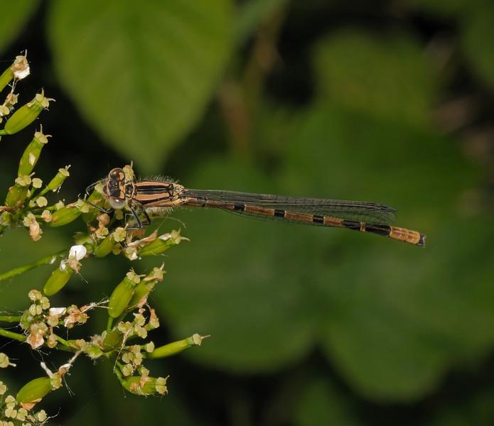 Immature Female Azure Damselfly - Coenagrion puella, May