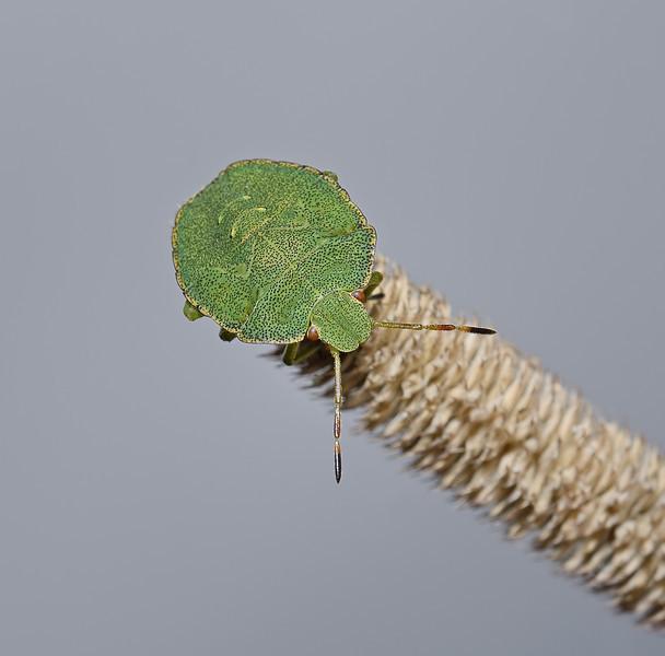 Green Shieldbug - Palomena prasina final instar nymph, September