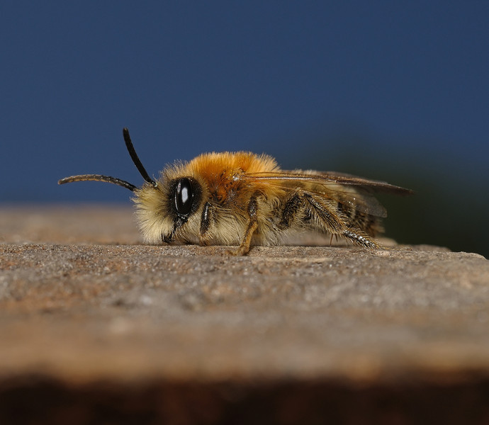 Andrena sp, April