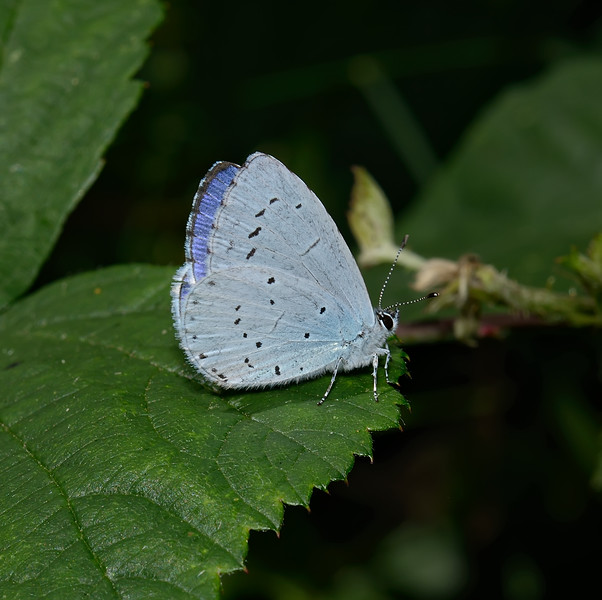 Holly Blue, August