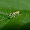 Leafhopper, September