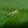 Leafhopper, September
