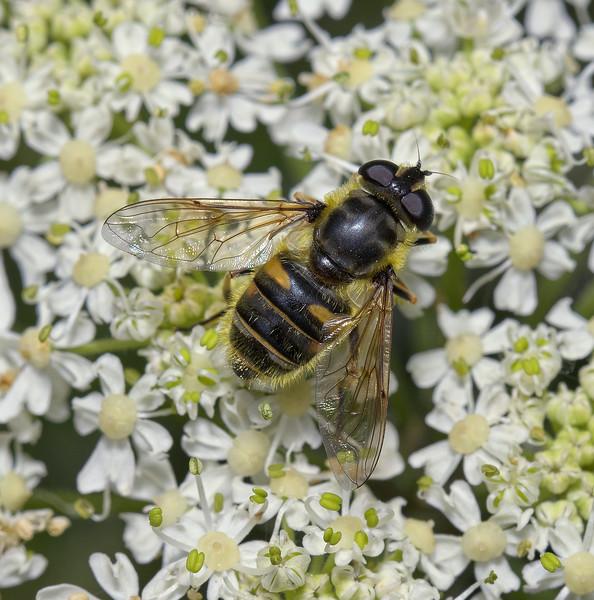 Myathropa florea female, May