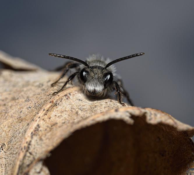 Andrena cineraria, male, April