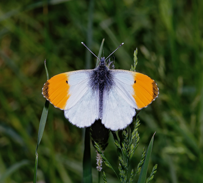 Orange Tip male, June