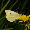 Large White, April