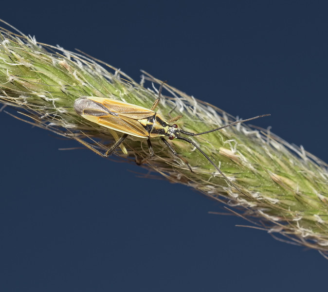 Leptopterna dolabrata male, May