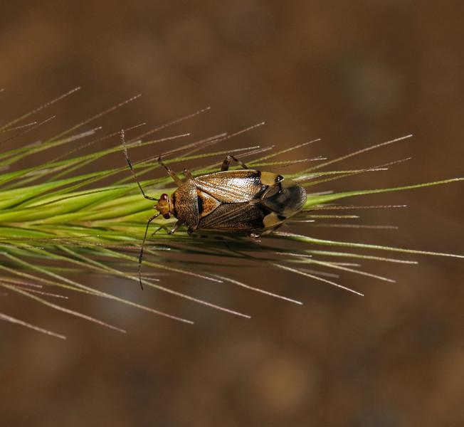 Deraeocoris flavilinea female, June