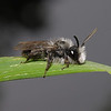 Andrena cineraria male, April