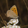 Small Copper, September