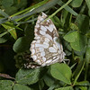 Marbled White, July
