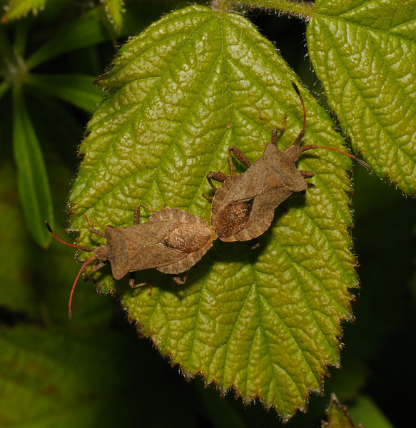 Coreus marginatus pair, May