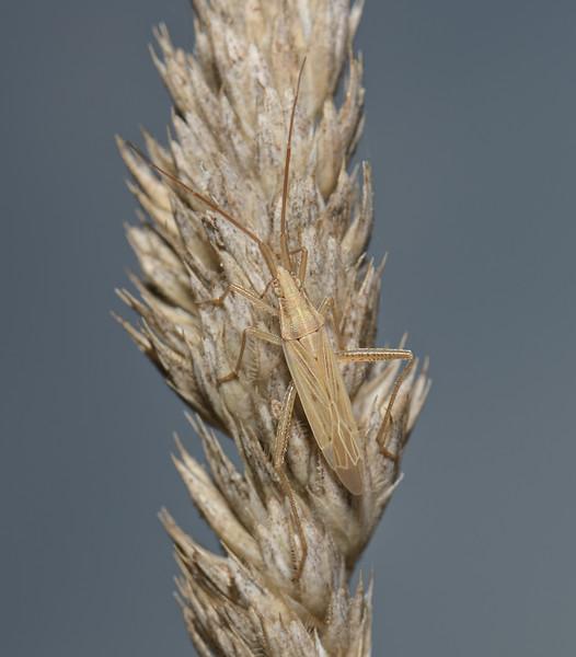 Stenodema laevigata, September